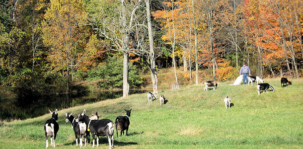 Addi Hill herd in the fall of 2015